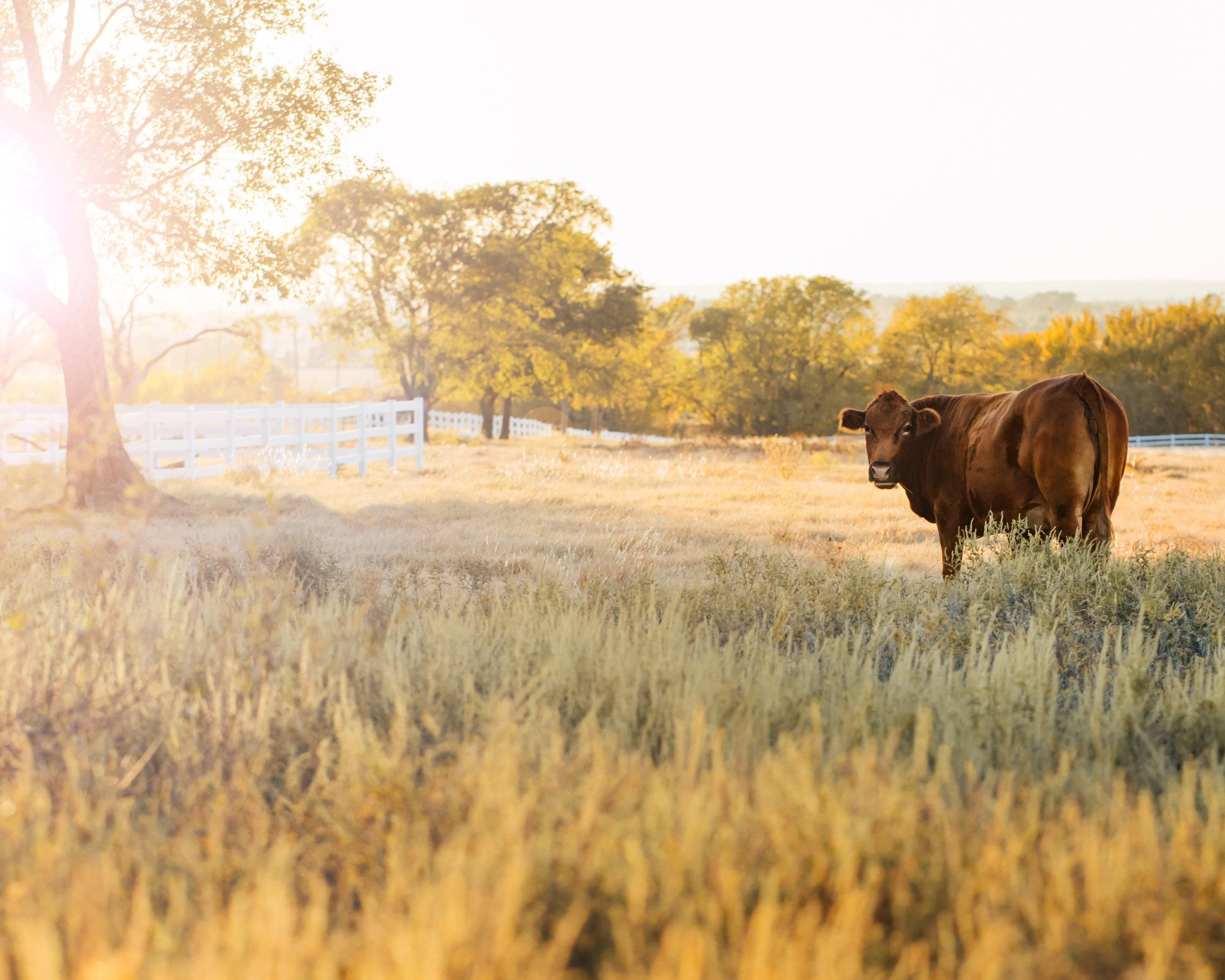 cow8x10print.jpg
