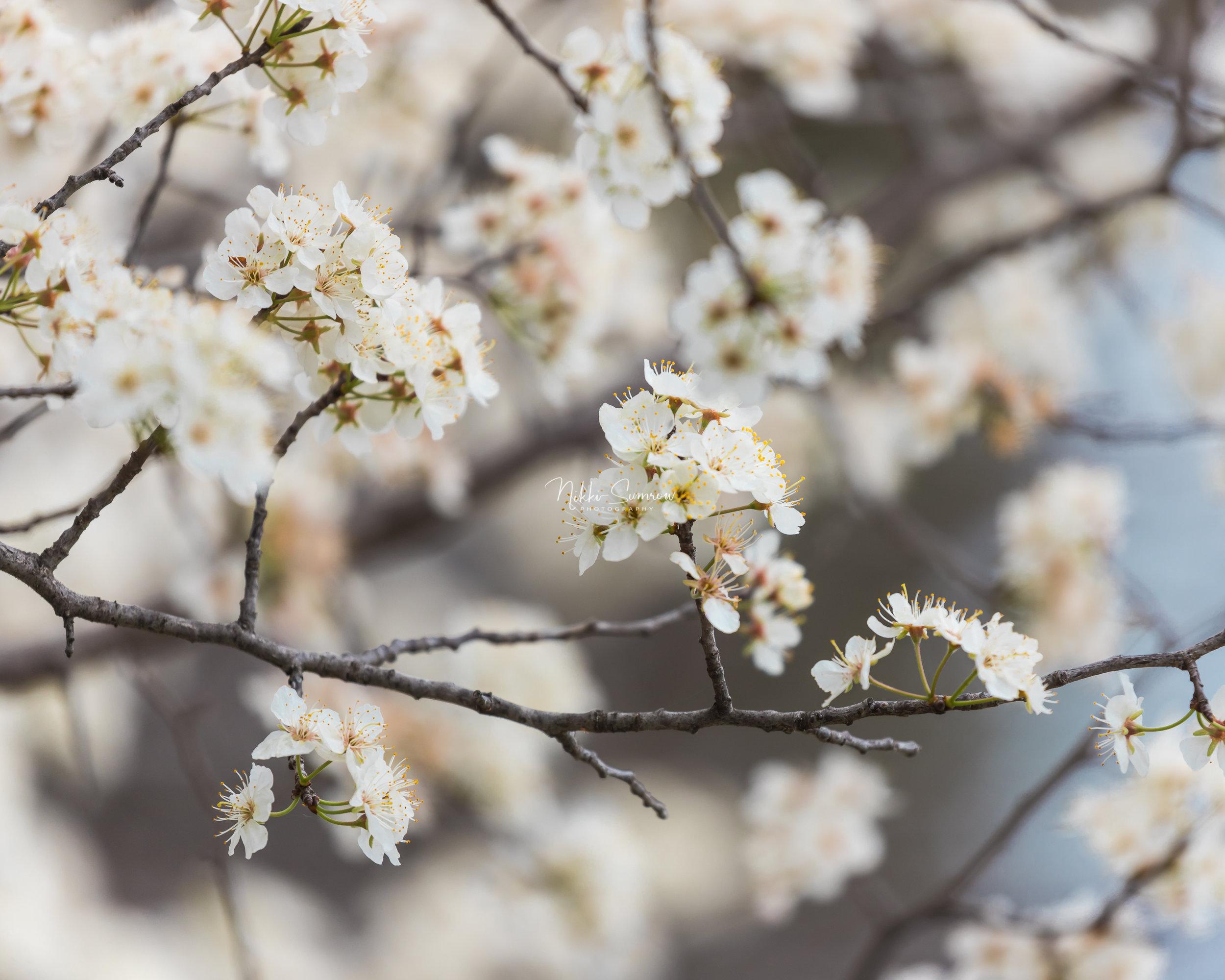 springblossoms_web.jpg