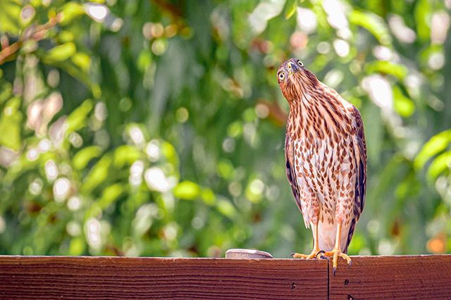 """This juvenile Cooper's hawk perching in my backyard is so beautiful but so scary when your dog is the size of a rabbit. 😬 . """"If we can teach people about wildlife, they will be touched. Share my wildlife with me. Because humans want to save things that they love.""""—Steve Irwin . 🦊Welcome to our #wildlife_loop, a collaboration of photographers who share a love and conservation for the wildlife that lives all around us. We promote ethical wildlife photography practices and strive to make the world better for animals. Join us each week as we share some of our favorite animal photos by clicking our tag or by going to the next artist and following our loop! . Next artist is: @lorribeth23 . . . . #teamcanon #bestbirdshots #birdsofinstagram #birds_captures #animalshots #igbirds #birdfreaks #animalkingdom #bird_brilliance #raw_birds #natgeoyourshot  #allkindsofnature #naturephoto #InstaNatureFriends_ #birdphotography #birding_lounge  #fiftyshades_of_nature #texasthroughherlens #femalenaturephotographycom #featheredfriends #bns_birds #nuts_about_birds #wildlifephoto #natgeowild #dallastx #outdoorphotographer #wildlifeconservation #conservation"""