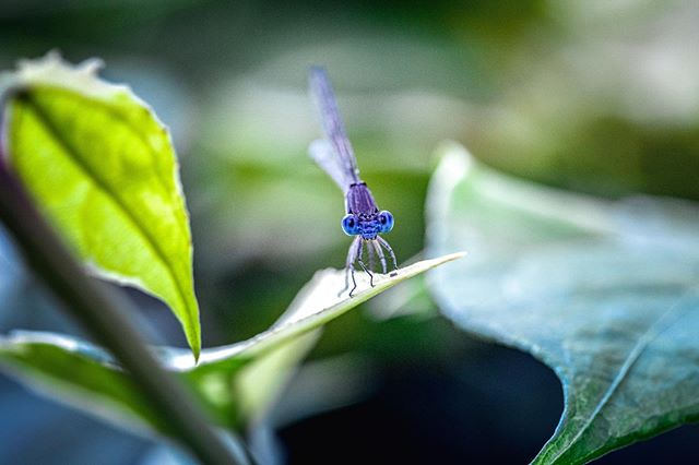 """These little damselflies are such fun models. They let you get close, they sit still and they always seem to be  smiling. 💙 . """"If we can teach people about wildlife, they will be touched. Share my wildlife with me. Because humans want to save things that they love."""" ― Steve Irwin . 🦊Welcome to our #wildlife_loop, a collaboration of photographers who share a love and conservation for the wildlife that lives all around us. We promote ethical wildlife photography practices and strive to make the world better for animals. Join us each week as we share some of our favorite animal photos by clicking our tag or by going to the next artist and following our loop! . Next artist is: @gagglephotog . . . . #teamcanon #natgeowild #macro_captures #macro_highlight #macro_brilliance #fiftyshades_of_macro #macro_moms #charming_nature_ #macro_mood #insectsofinstagram #top_macro #allkindsofnature #dallasphotographer  #everything_imaginable #dfwphotographer #_macroart #bokeh_kings #pearlsofbokeh #bokeh_killers #moody_captures #femalenaturephotographycom #magical_beauties #nature_love #magic_marvels #nature_of_our_world #conservation #pocket_insects"""