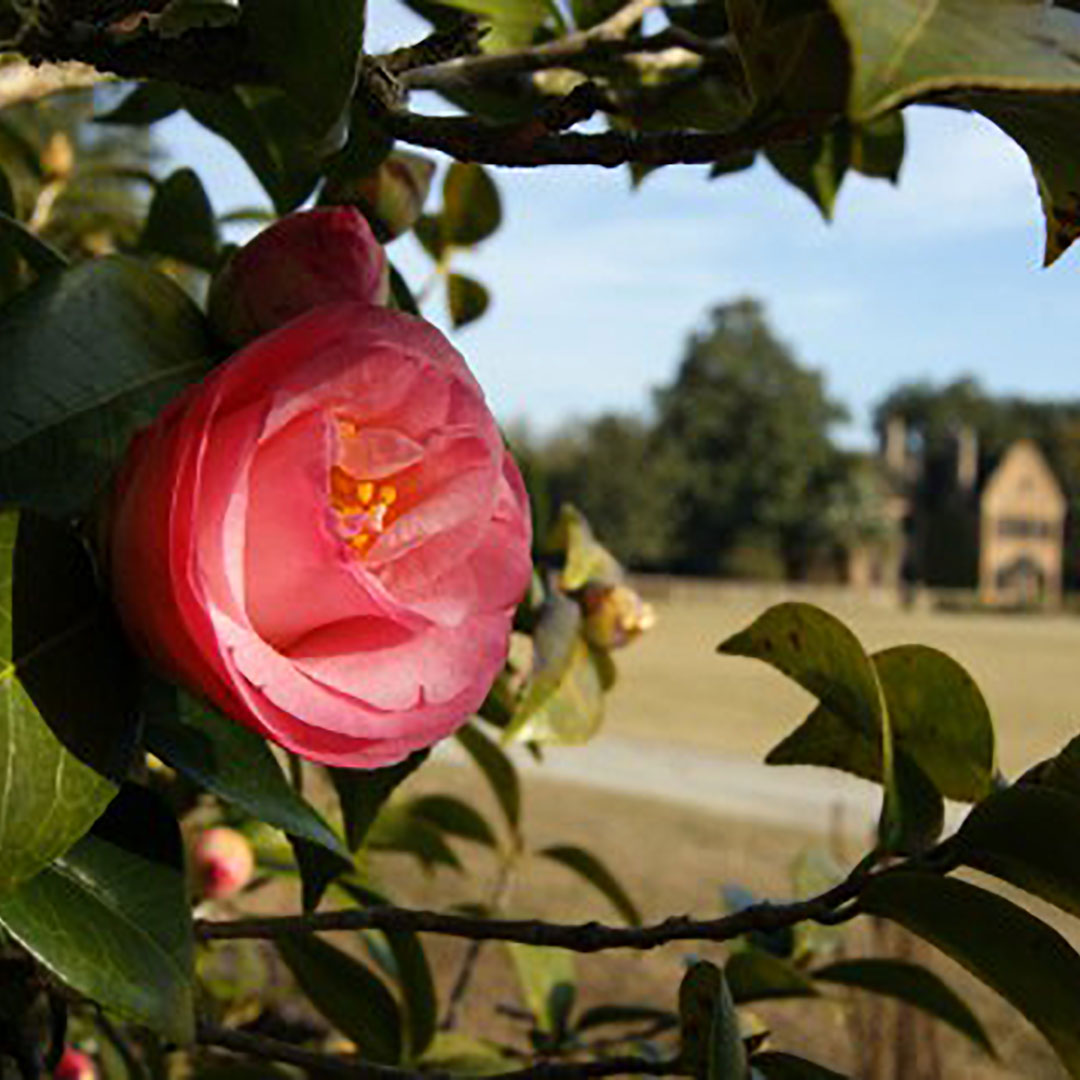 charleston-inside-out-middleton-place-camellia-walks.jpg