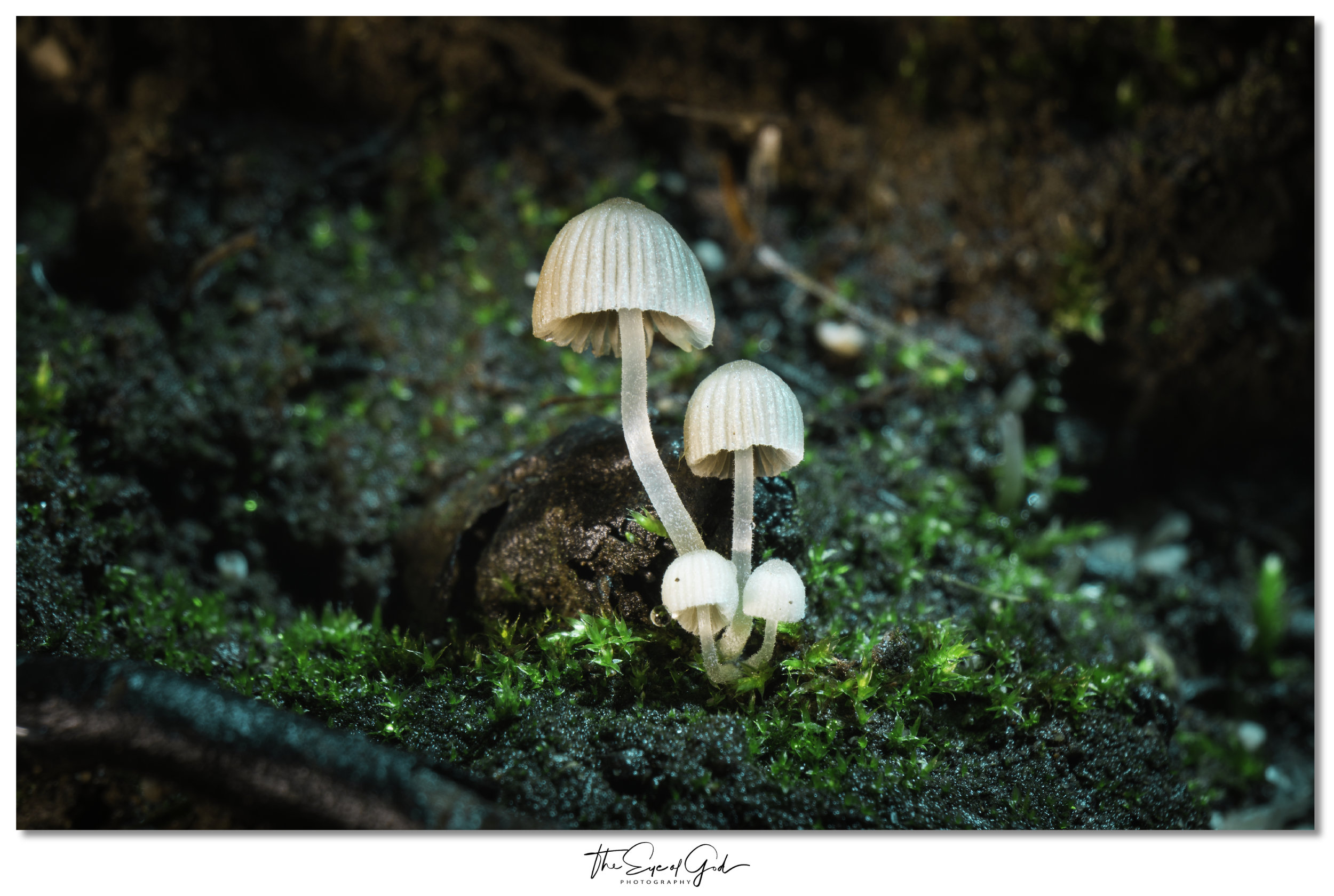 By removing the ambient lighting, I was able to create an attractive colour palette & illuminate my subject - the Fairy Ink Cap (Coprinellus Disseminatus)