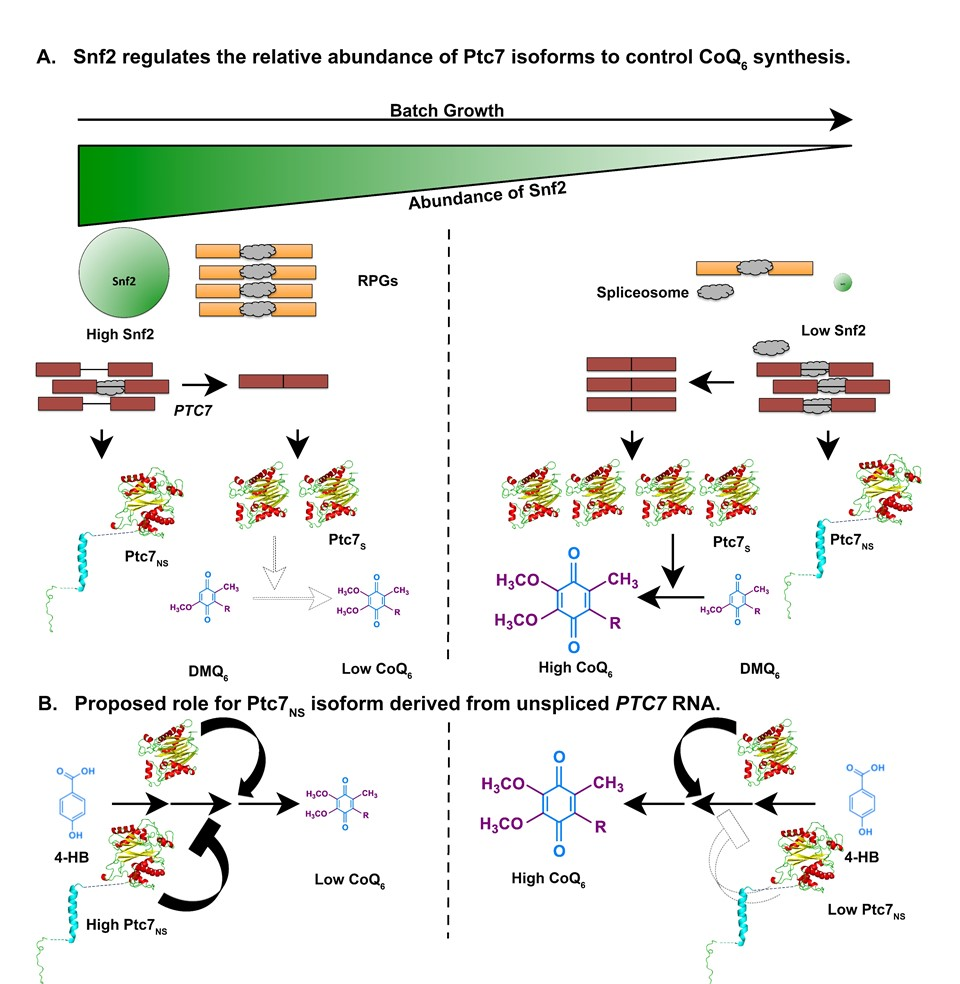 Snf2,  PTC7,  and Coenzyme Q biosynthesis during respiration