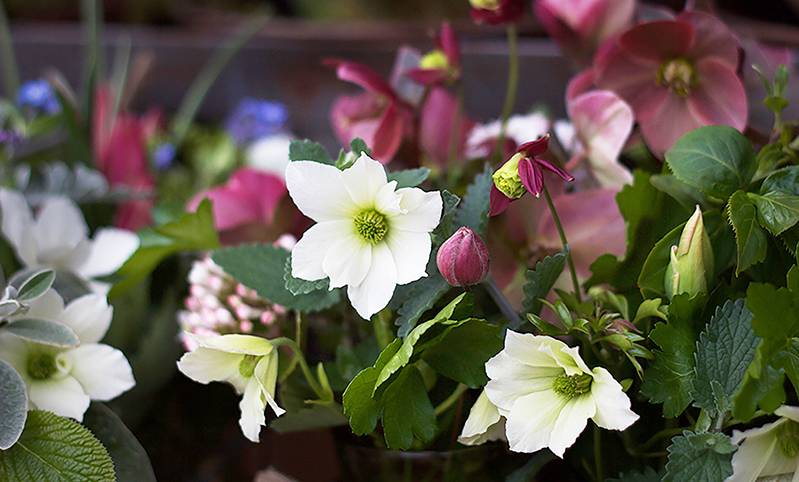 reduced cropped spring reduced posey flower arrangement hellebores cut flowers clematis ss pc.jpg