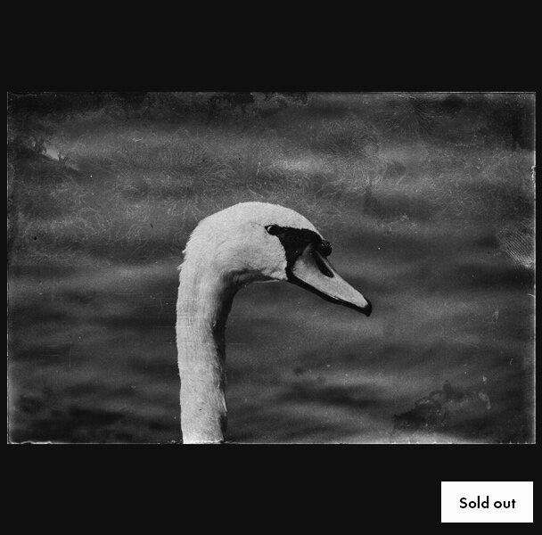 Swan, 300.00$   Sashko Ilov