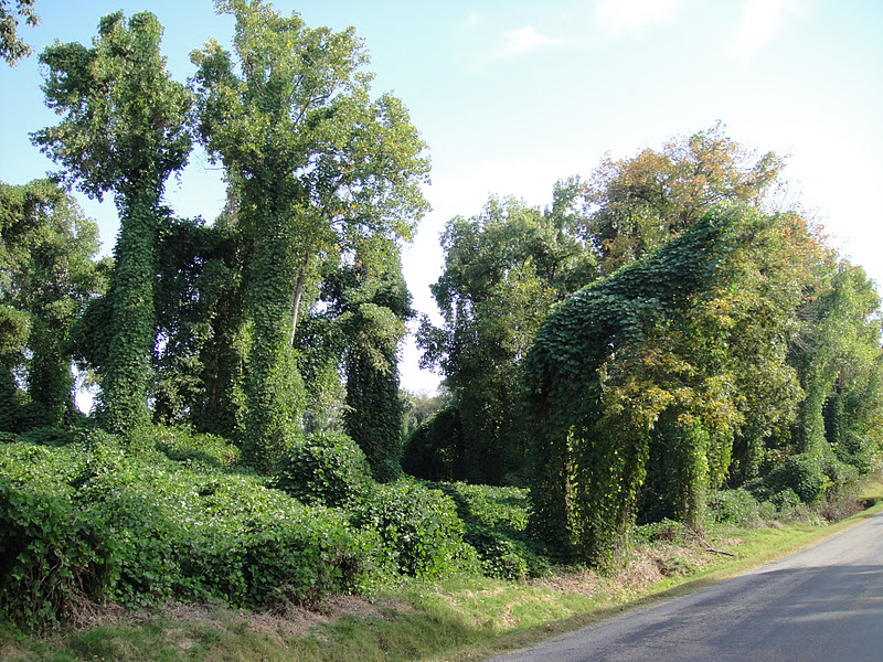 Entire forests are being swallowed by kudzu vines.