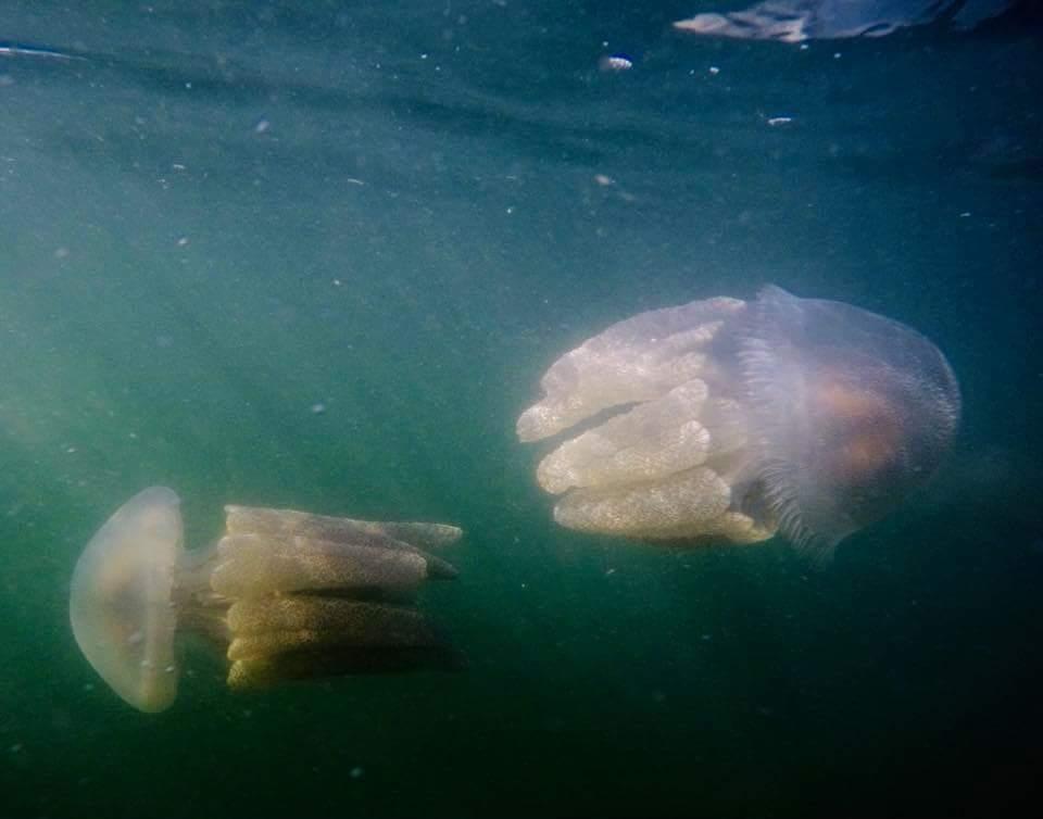 What jellyfish?