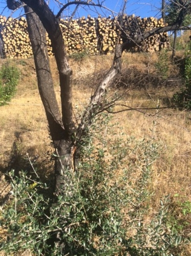 One of the olive trees regrowing from the root base