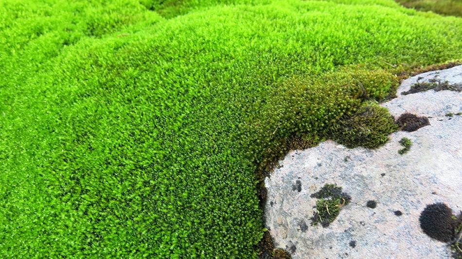 KOMPENSASJON:  Mosen står eirgrønn i skaret. Kompenserer den for lite sollys med ekstra klorofyll?