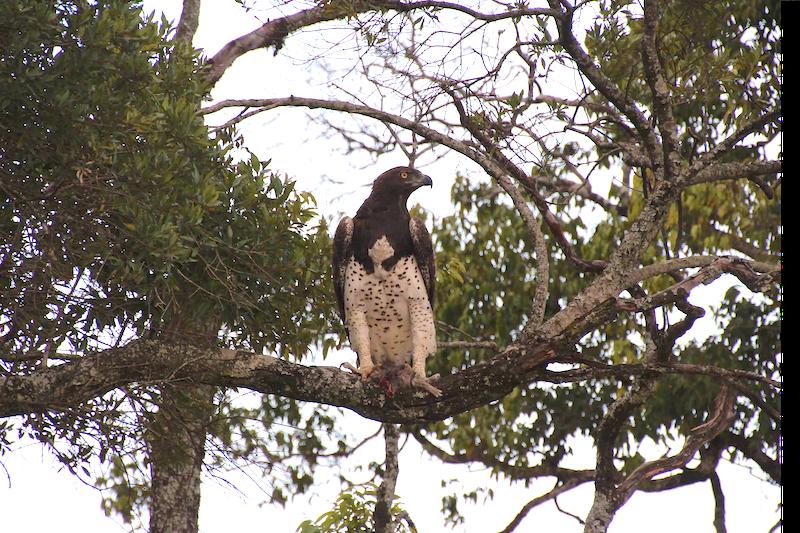 A splendid specimen of an eagle.