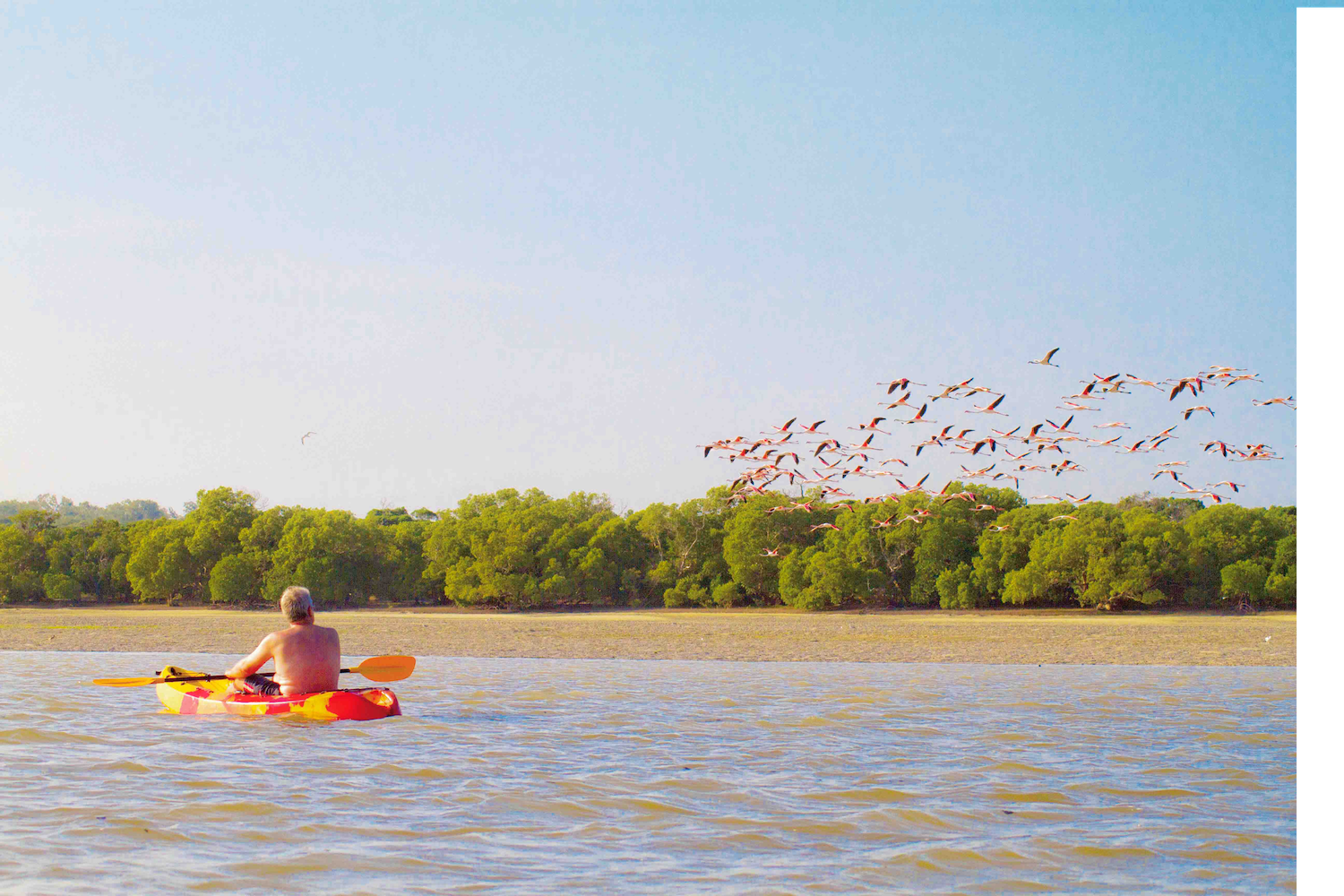 A flock of flamingos starting during low tide.