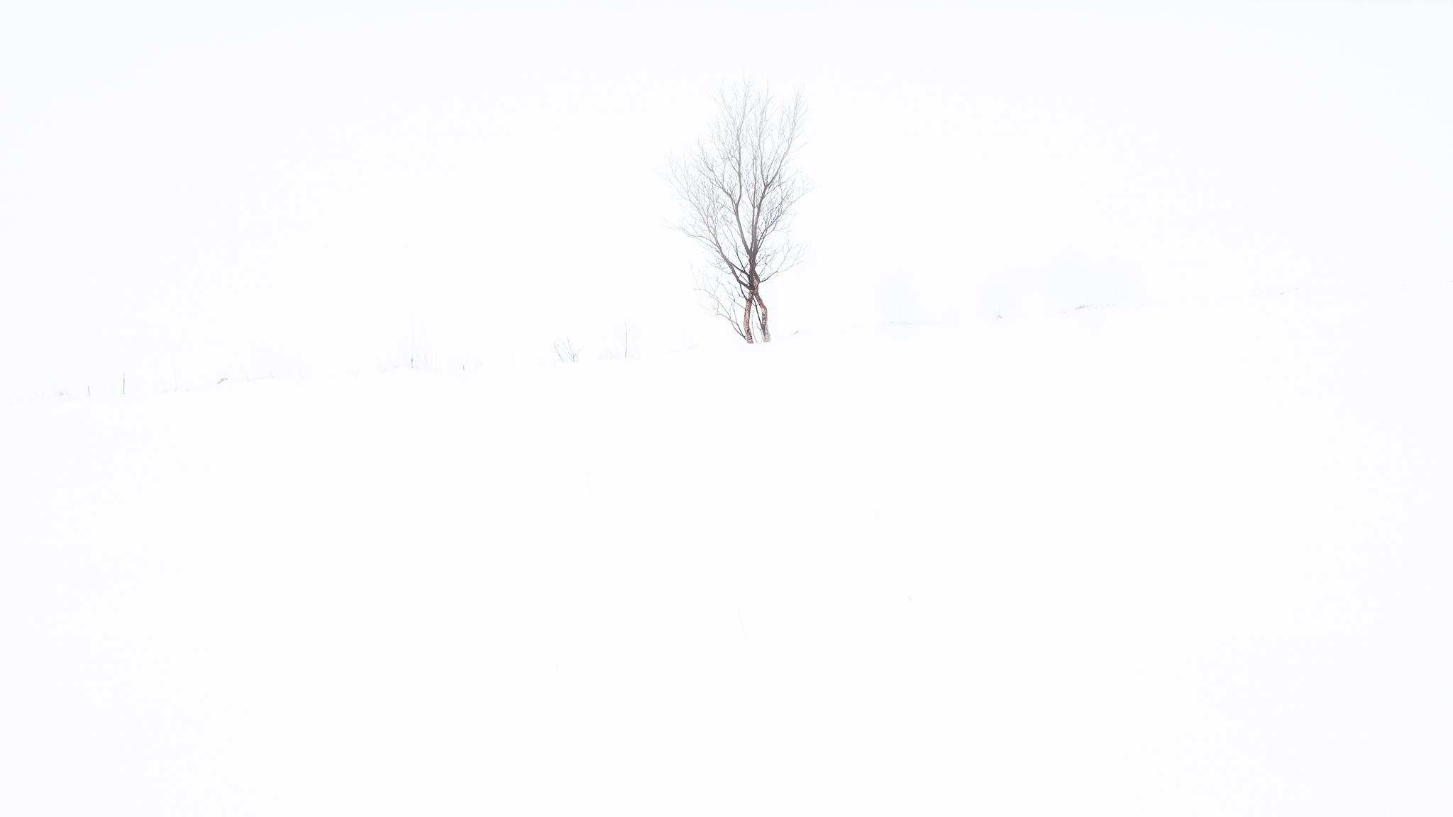 Birch tree, Vareid, Lofoten, Norway, 2016. From the series    Arctic Light
