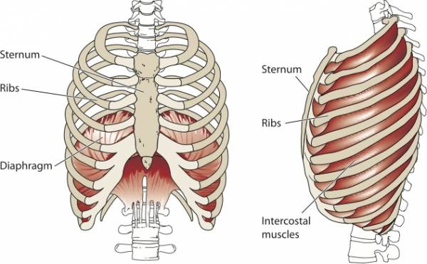 http://vocalsplendor.com/visualizing-the-diaphragm-in-action/