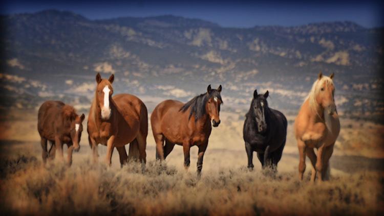 hma-wild-horses-blm.jpg