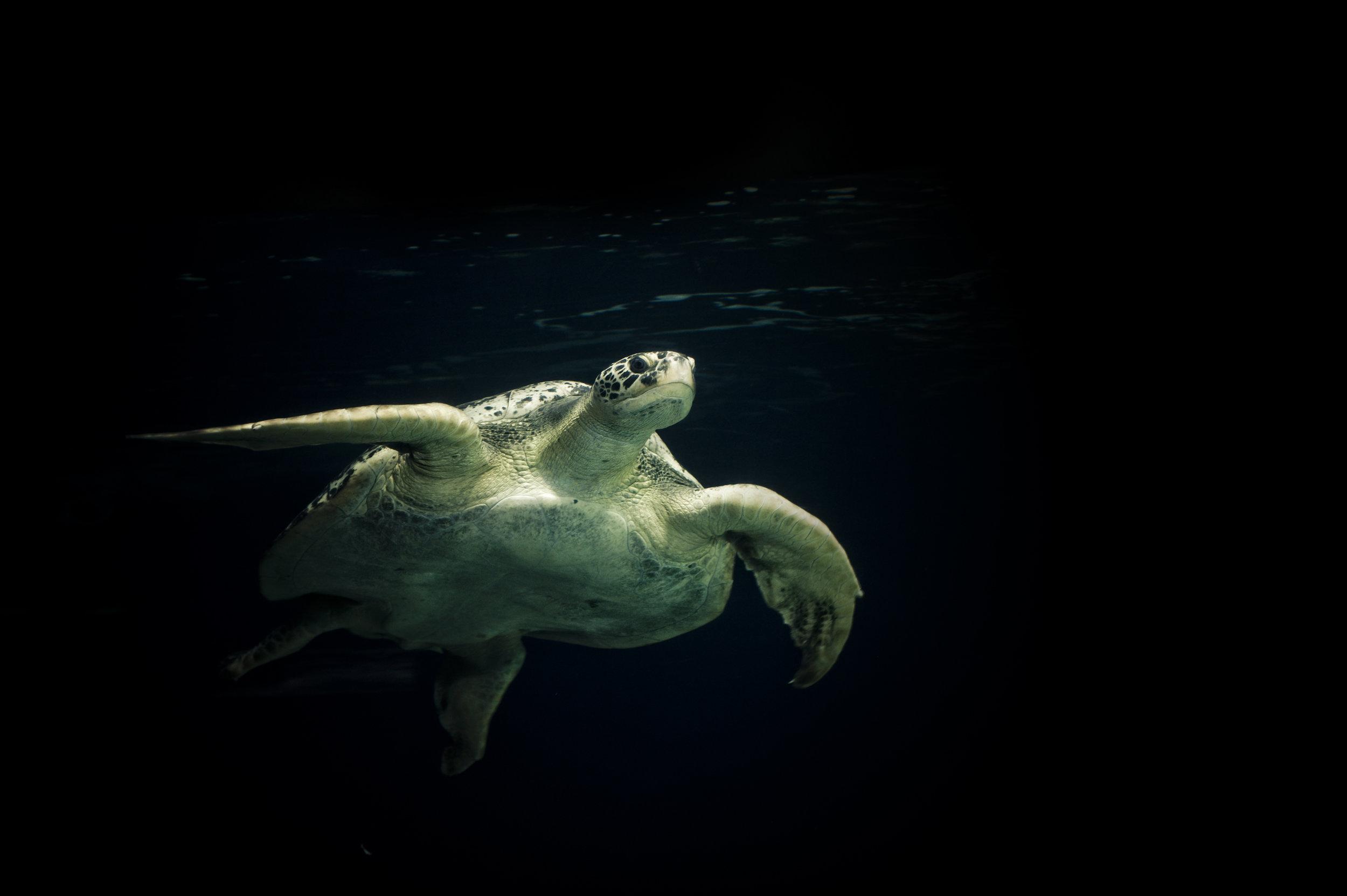 Turtle-of-the-Sea-182475565_3000x1996.jpeg