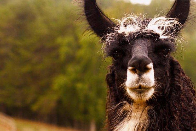 Mountain Llama: 2016