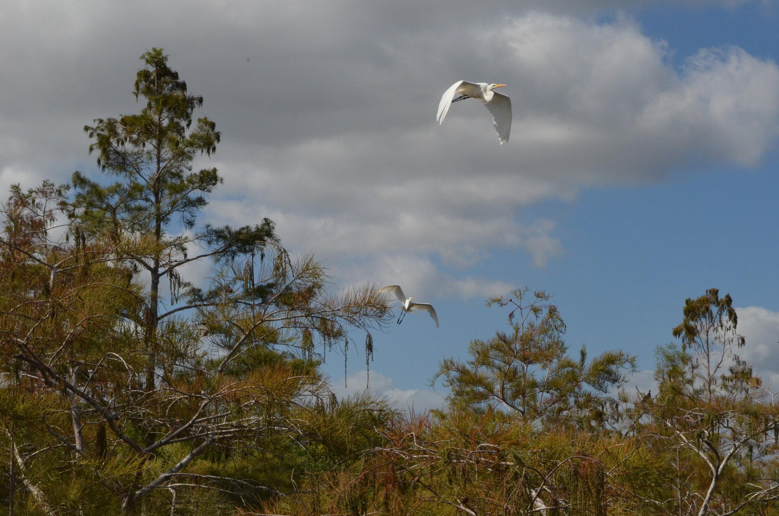 Great Heron among the Bald Cypress Trees