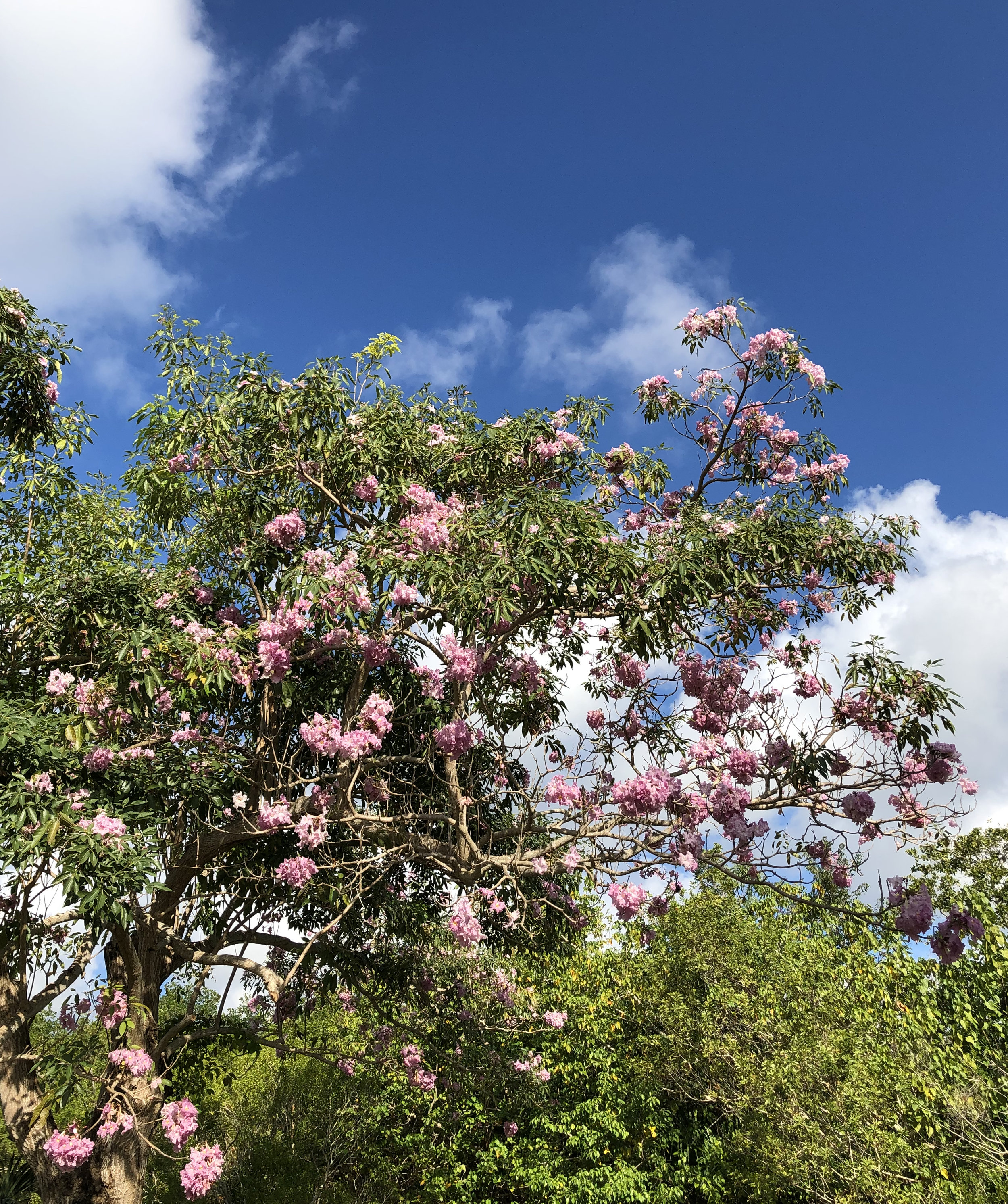 Tabebuia rosea  The rosy trumpet tree, often planted in Neotropical cities.