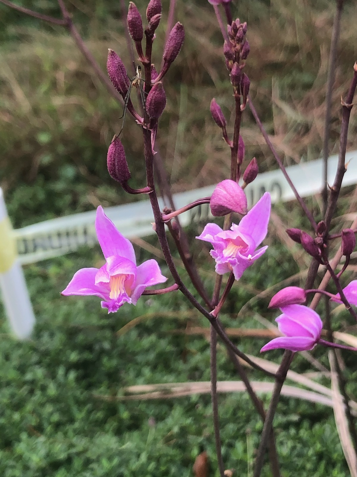Bletia purpurea  A terrestrial orchid, commonly called the pine pink orchid. It's native to the highly endangered pine rockland habitat and cypress swamps and is threatened in the state of Florida.  Photo: Dr. Jason Downing