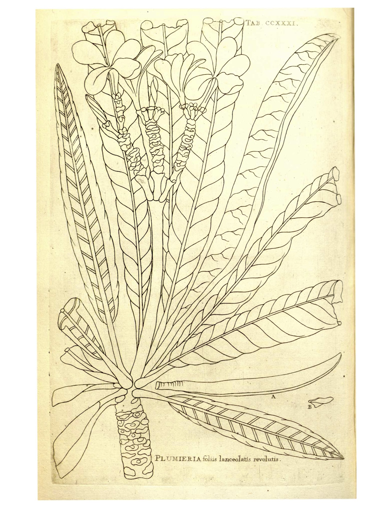 Plumeria alba  as drawn by Charles Plumier Images from: Nova Planataram Americanarum Genera. 1703.