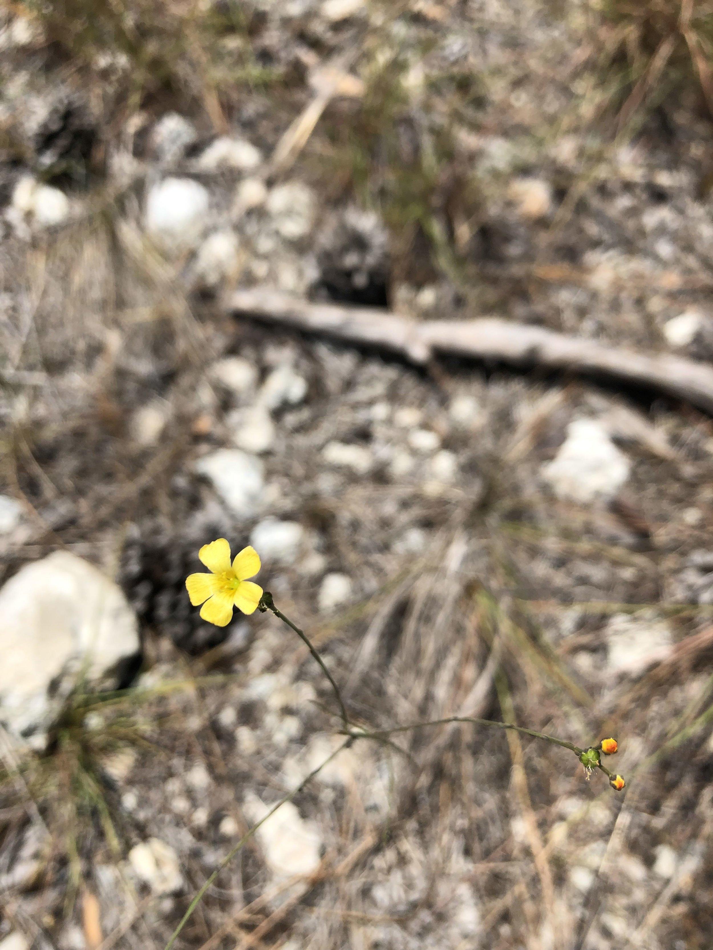 Linum arenicolum (sand flax)