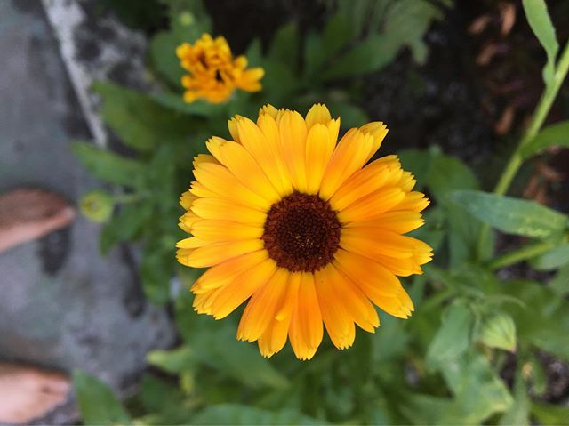 "🌼 Here is a calendula flower Souther and I grew from seed. A little reminder that medicine is everywhere in the plants & rocks around us. • • Some of you know I have been learning flower essences and intuitive healing under the mentorship of @shayne.case this year in her #undertheeagleswingmentorship. 🌿 • • Shayne is Miniconjou Lakota and a member of the Cheyenne River Sioux Tribe. She has been returning to her reservation every year to teach flower essence making to the youth with her Toki Amanwani project (named after her grandmother). • • Souther and I have been offered the opportunity to accompany Shayne to South Dakota this fall to share mindfulness and art workshops with the kids in the Cheyenne River Youth Project. In addition to the workshops, we'll be helping the community by building, running errands for elders, and other projects. I'm so honored and excited to be a part of this! • • We are fundraising so we can cover our expenses to volunteer on the reservation. Please consider donating or sharing Shayne's GoFundMe linked above. Shayne is also selling ""Eagle's Wing"" flower essence as part of the fundraiser. You can read more about it here: @shayne.case • • Portland folks: we will be putting together a fundraising event, so keep an eye out for that. ❤️ • • Thank you!"