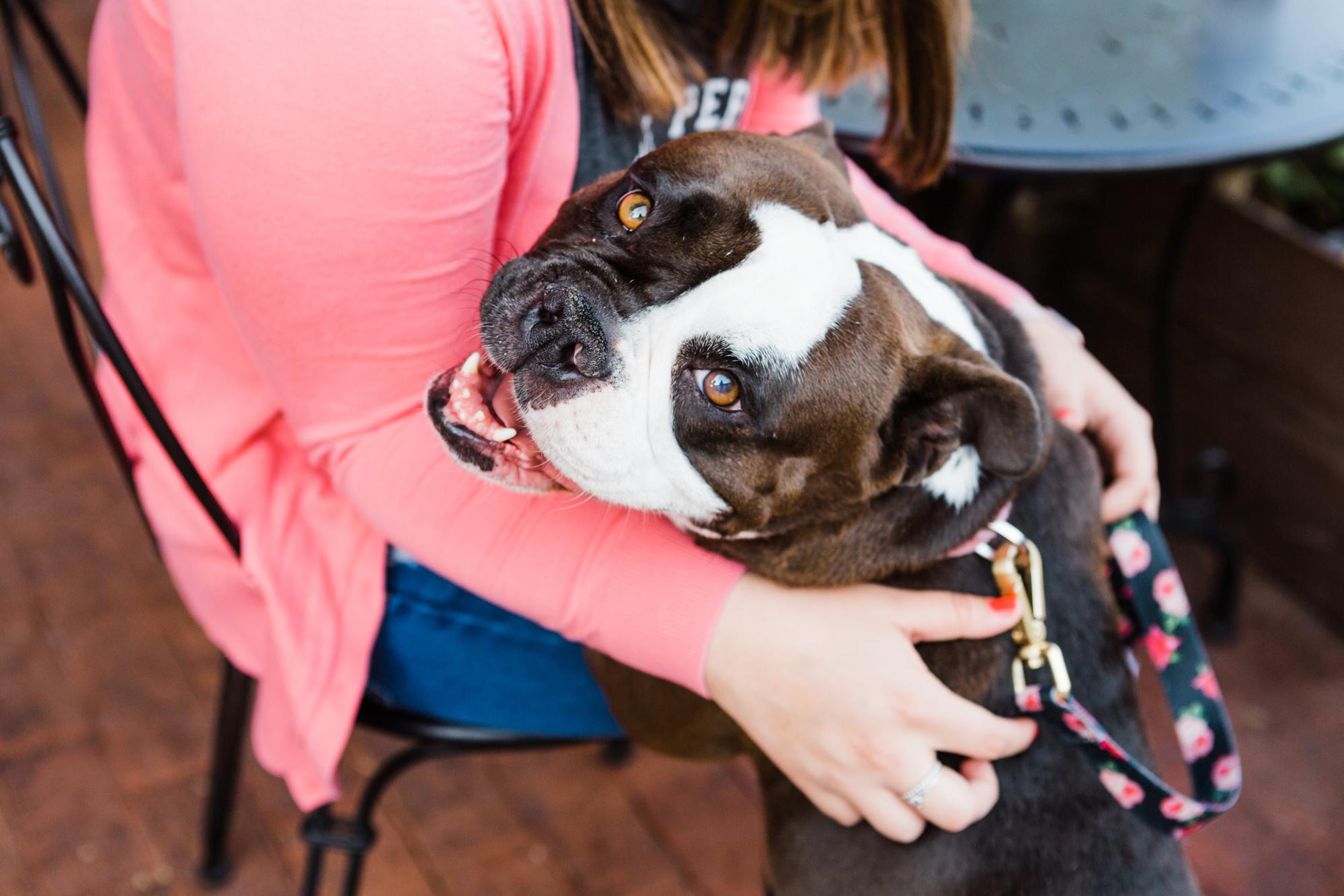 English Bulldog Rescue Portrait Session