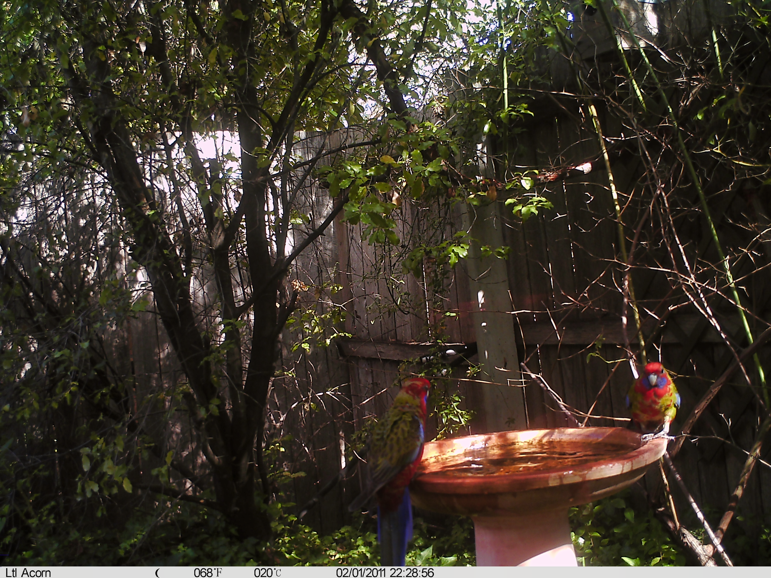 Crimson Rosella (young)