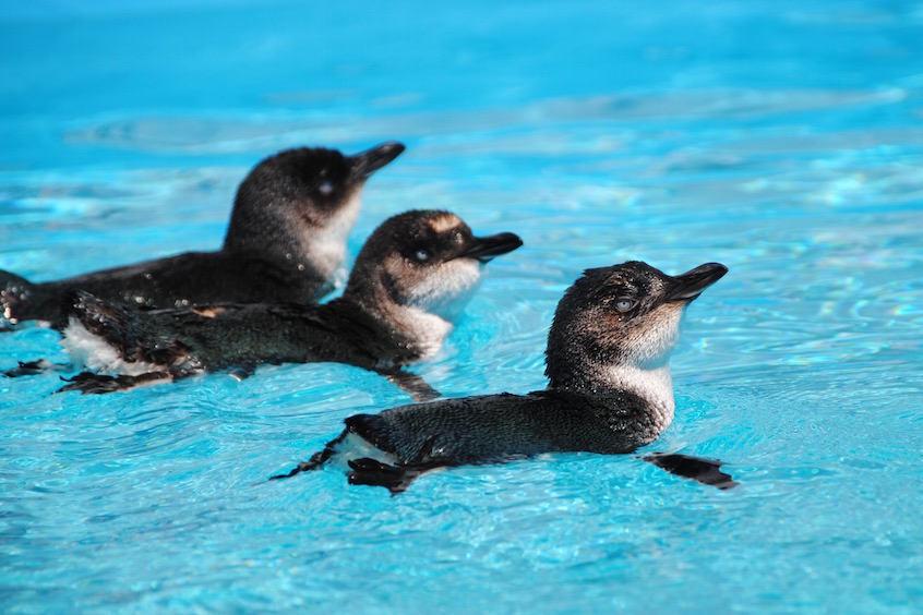 Little Blue Penguin Rena oil spill rehabilitation