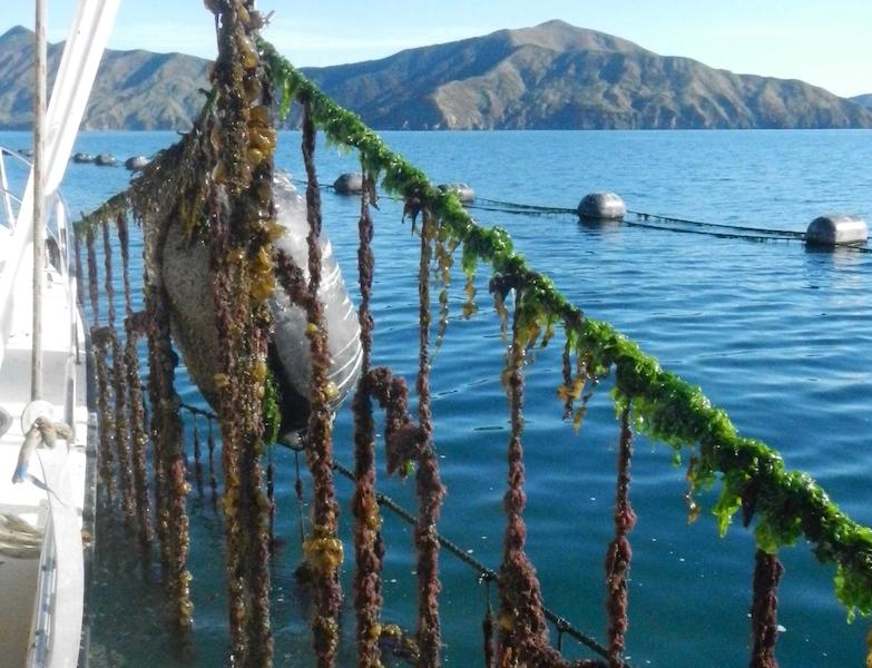 Ascidian fouling spat lines
