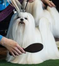 - Din hund får en fuld massage over hele kroppen samt udstrækning af ben. Der vil være fokus på de områder, hvor der er evt. spændinger og fokus på, hvilke områder, der er belastet mest og der derfor er størst risiko for skader.Desuden vil du få nogle råd og vejledning om, hvad du selv kan gøre, hvis der er mindre skader eller muskelatrofi (manglende muskelmasse)Massagen foregår på hundens præmisser, nogle hunde elsker massage, andre skal vende sig til det. Massagen foregår i jeres hjem, hvor hunden er i trygge opgivelser.Første gang skal du afsætte ca. 60-90 min, de efterfølgende gange tager det ca. 45-60 min. Men det er altid på hundes præmisser, hunden får kun, så meget behandling, den kan tåle.Se priserne herEr din hund under 1 år, så kontakt mig for nærmere aftale.Vær forberedt før mit besøg – se her
