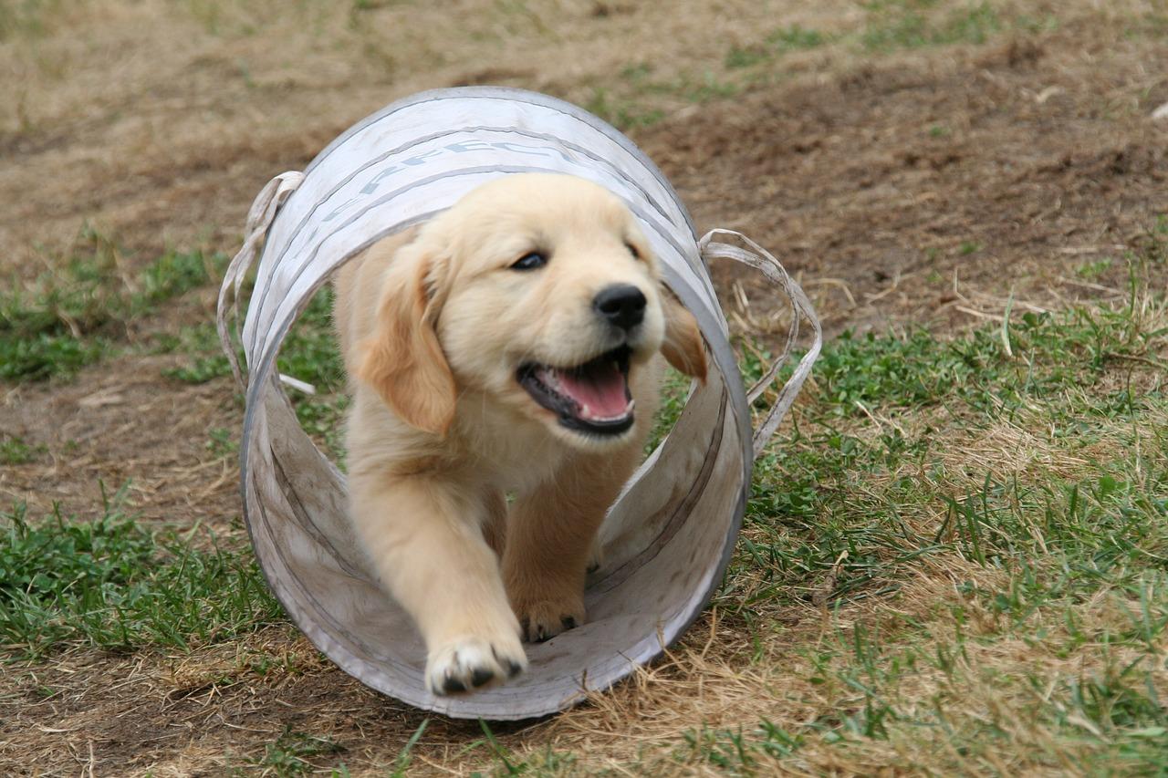 golden-retriever-puppy-2706681_1280.jpg