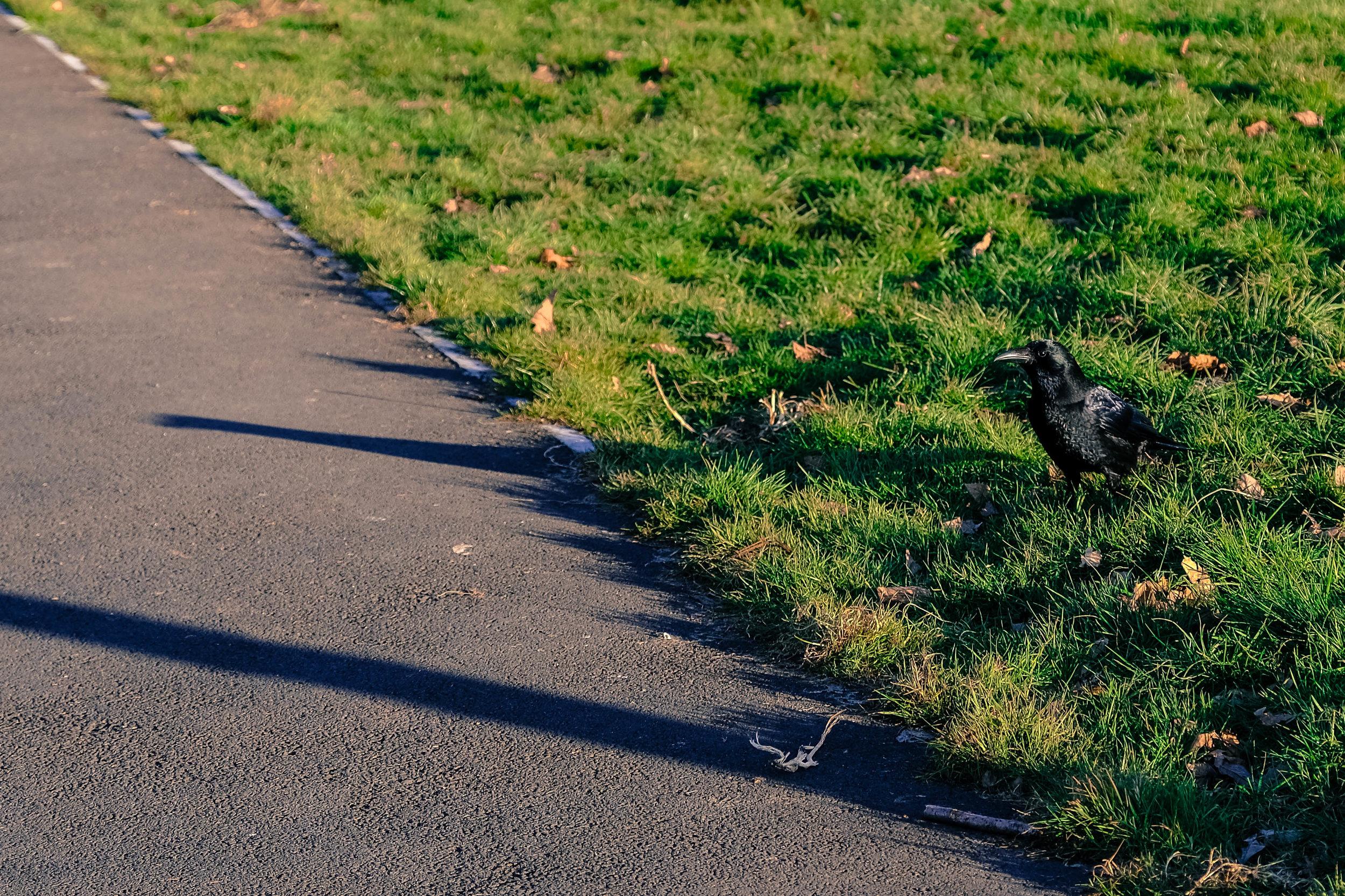 victoria park crow.jpg