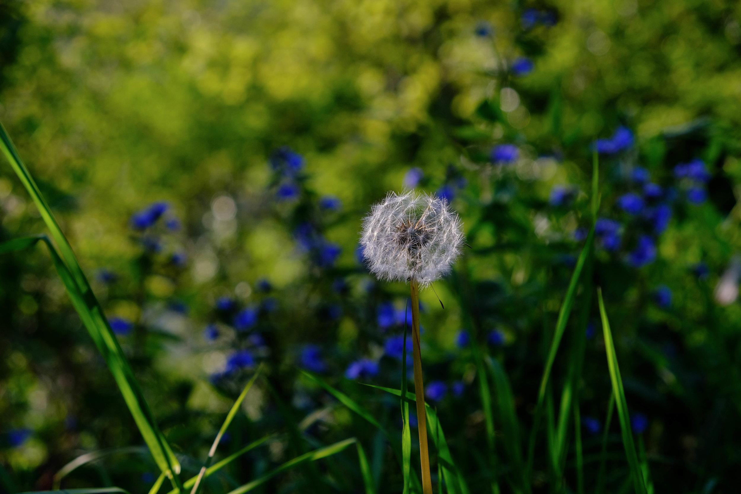 dandelions-1175.jpg