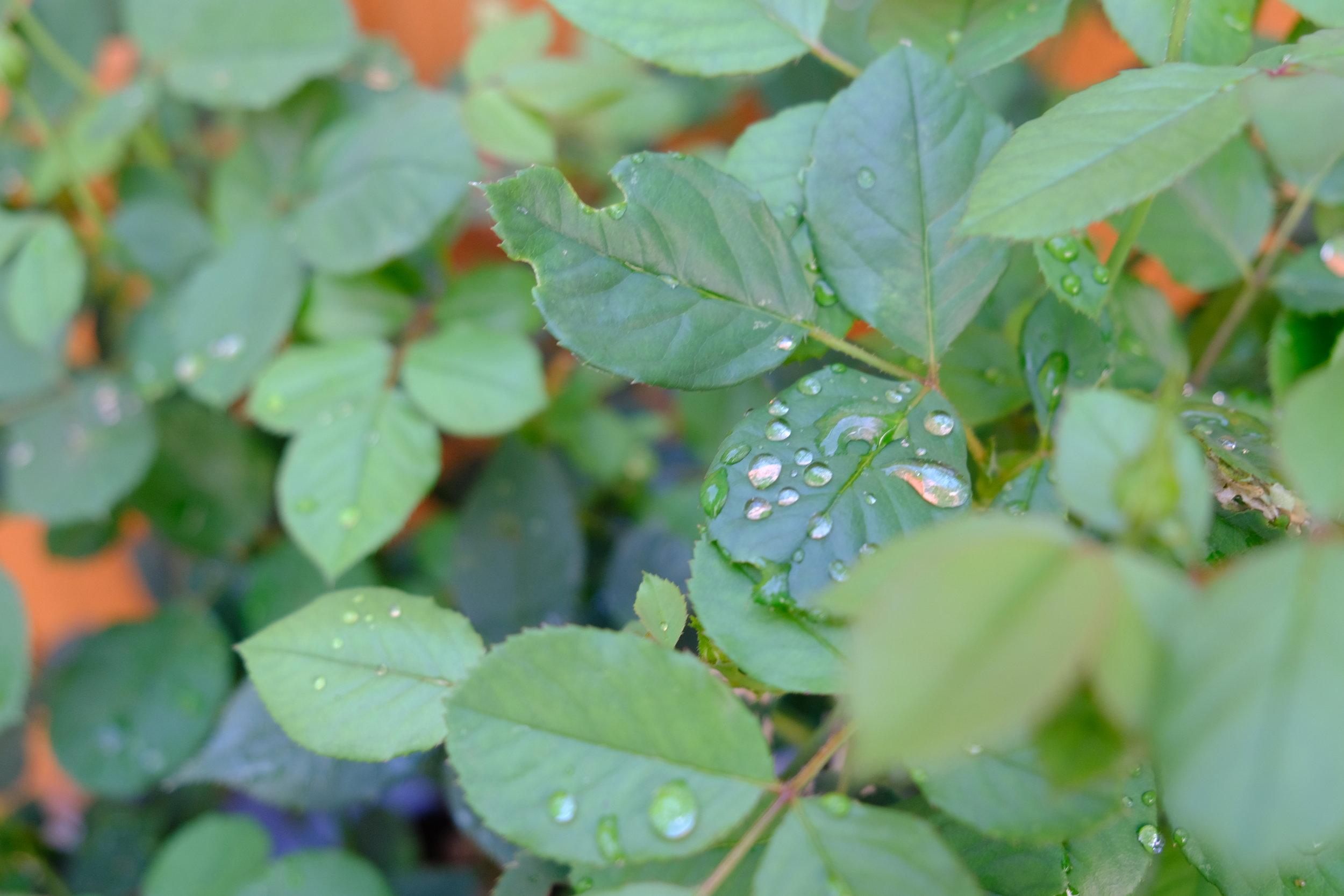 raindropsleafshapes.JPG