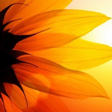 sunflower-dreamstime-web-700x465.jpg