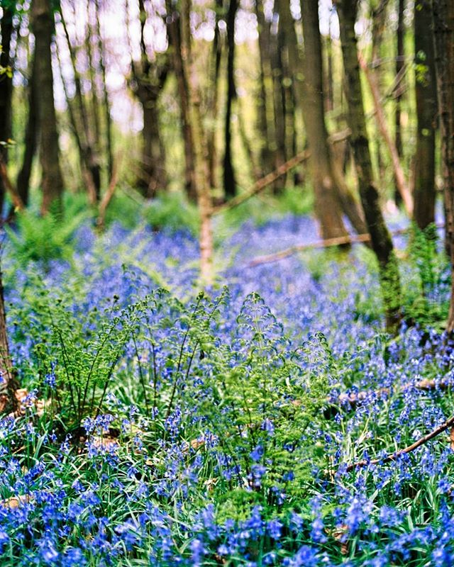Never grow bored of photographing bluebells :)