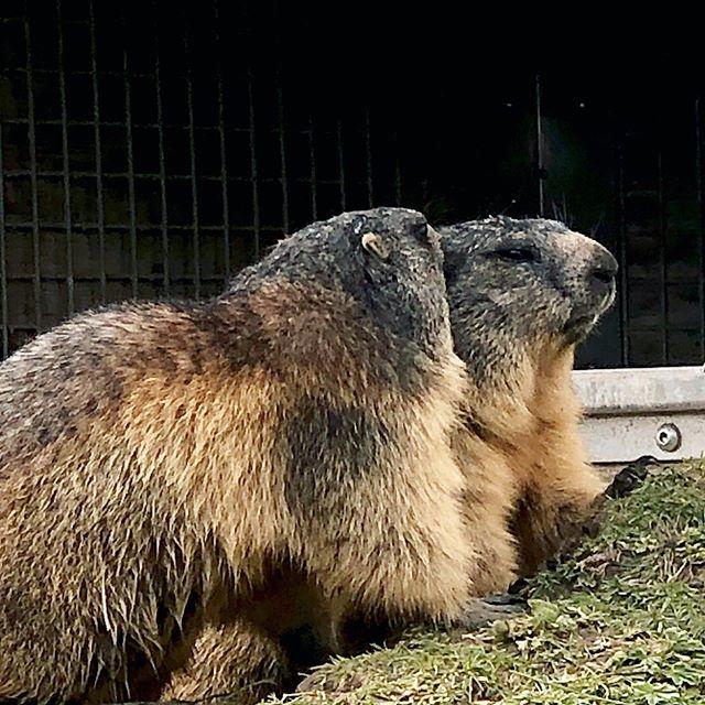 *le bisou de la marmotte... * kiss of à marmot... . #marmotte #montagnessuisses #notshy #lamontagne #inthemountainssomewhere #rocherdenaye #iloveswitzerland #animaux #animauxmignons#
