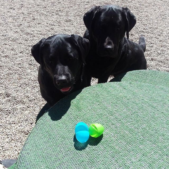 We did an Easter egg hunt with the dogs today! They enjoyed the nosework and beautiful weather! #happyhomesdog #dogdaycare #positivetraining