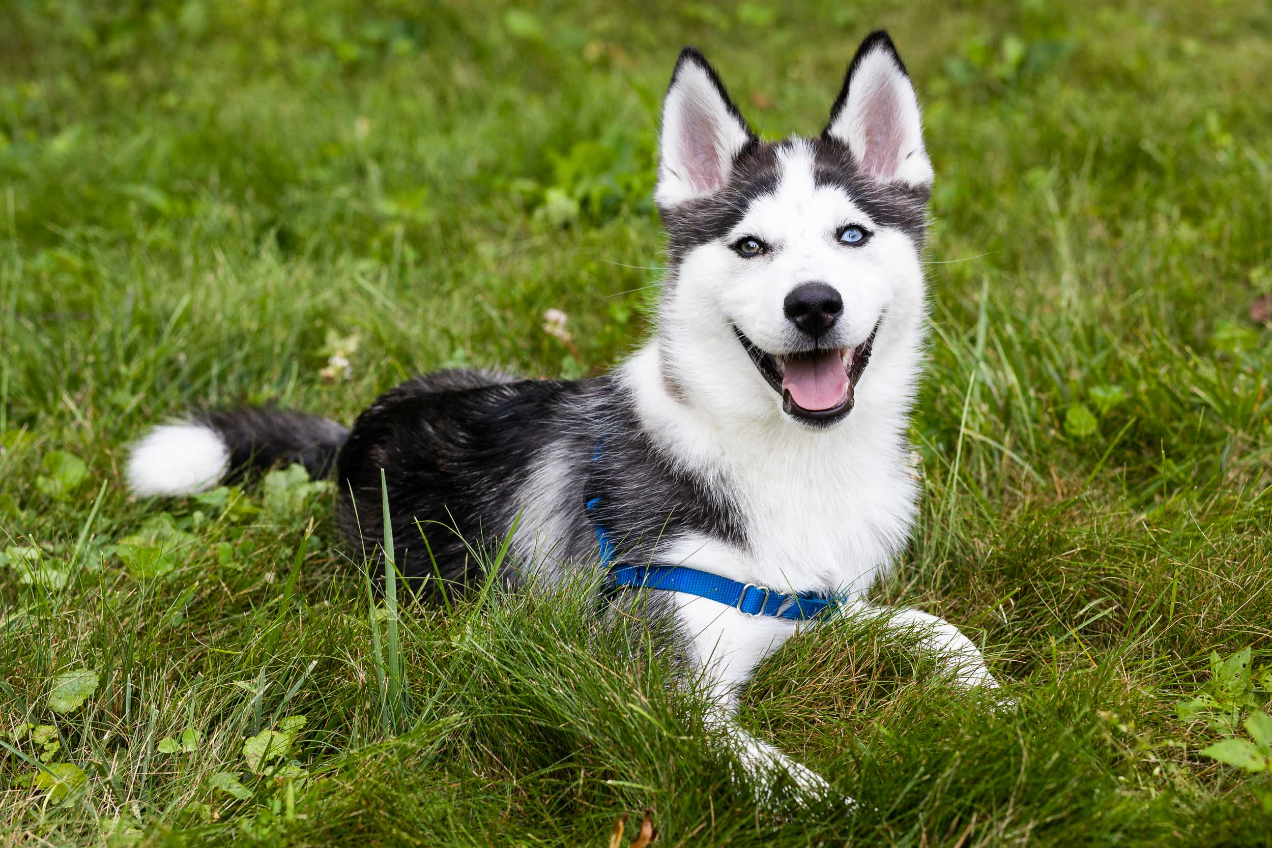 Tara Parekh Photography Alexandria VA Pet Photography Husky Mix Puppy Dog-2.jpg