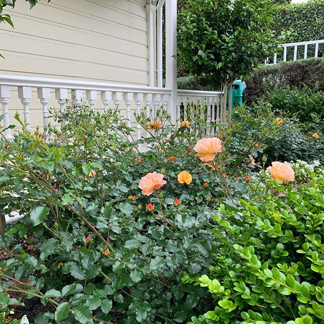 Roses are out in our garden.