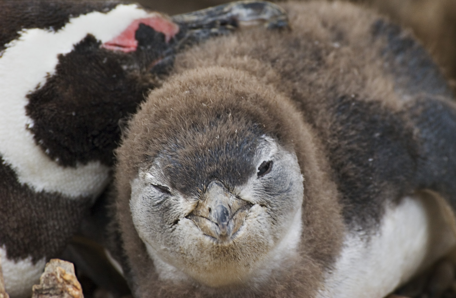 Mother Penguin and chick