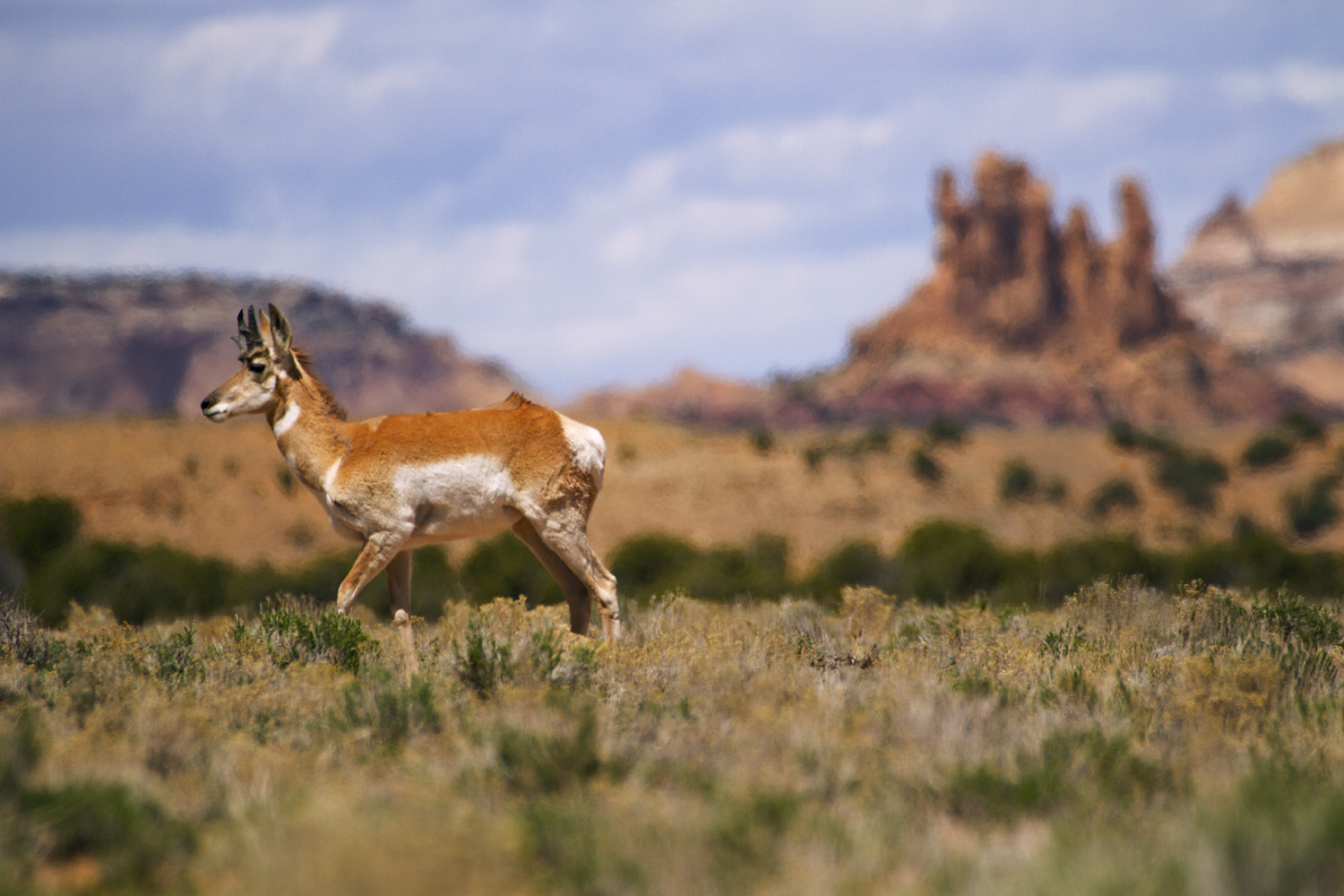 The North American Pronghorn