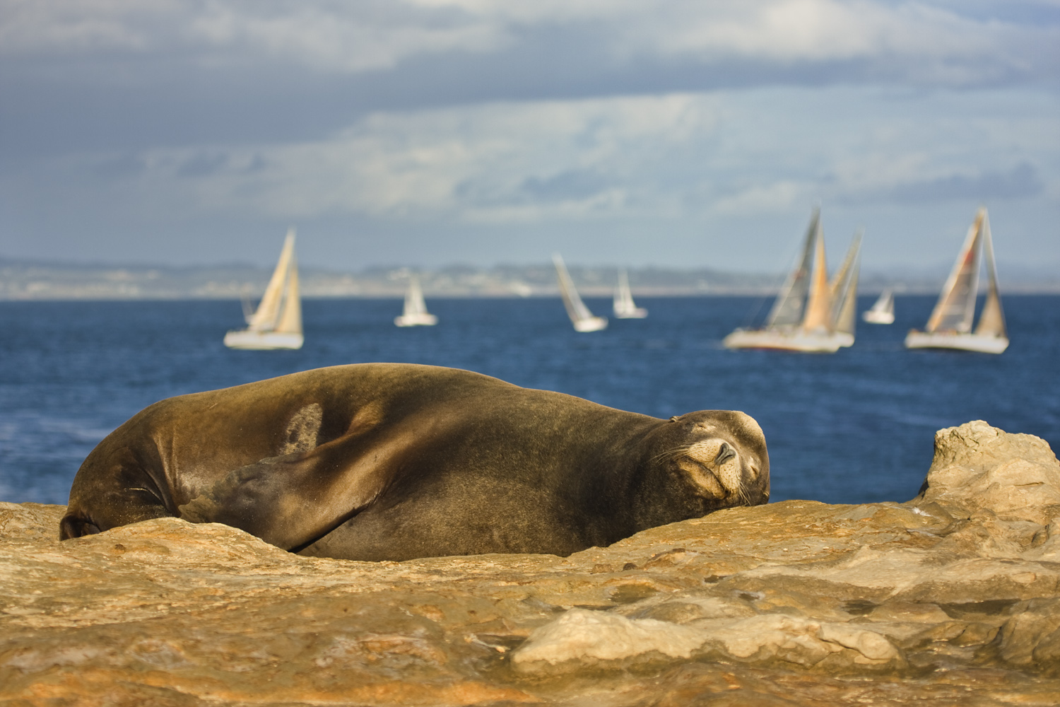 Sea Lion Napping