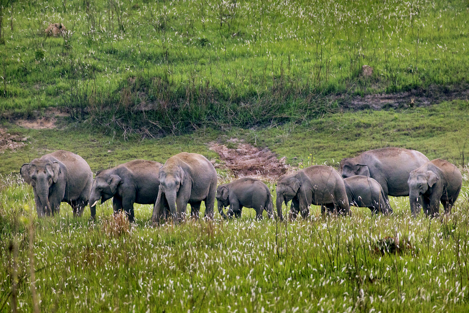 Elephants in the grassland