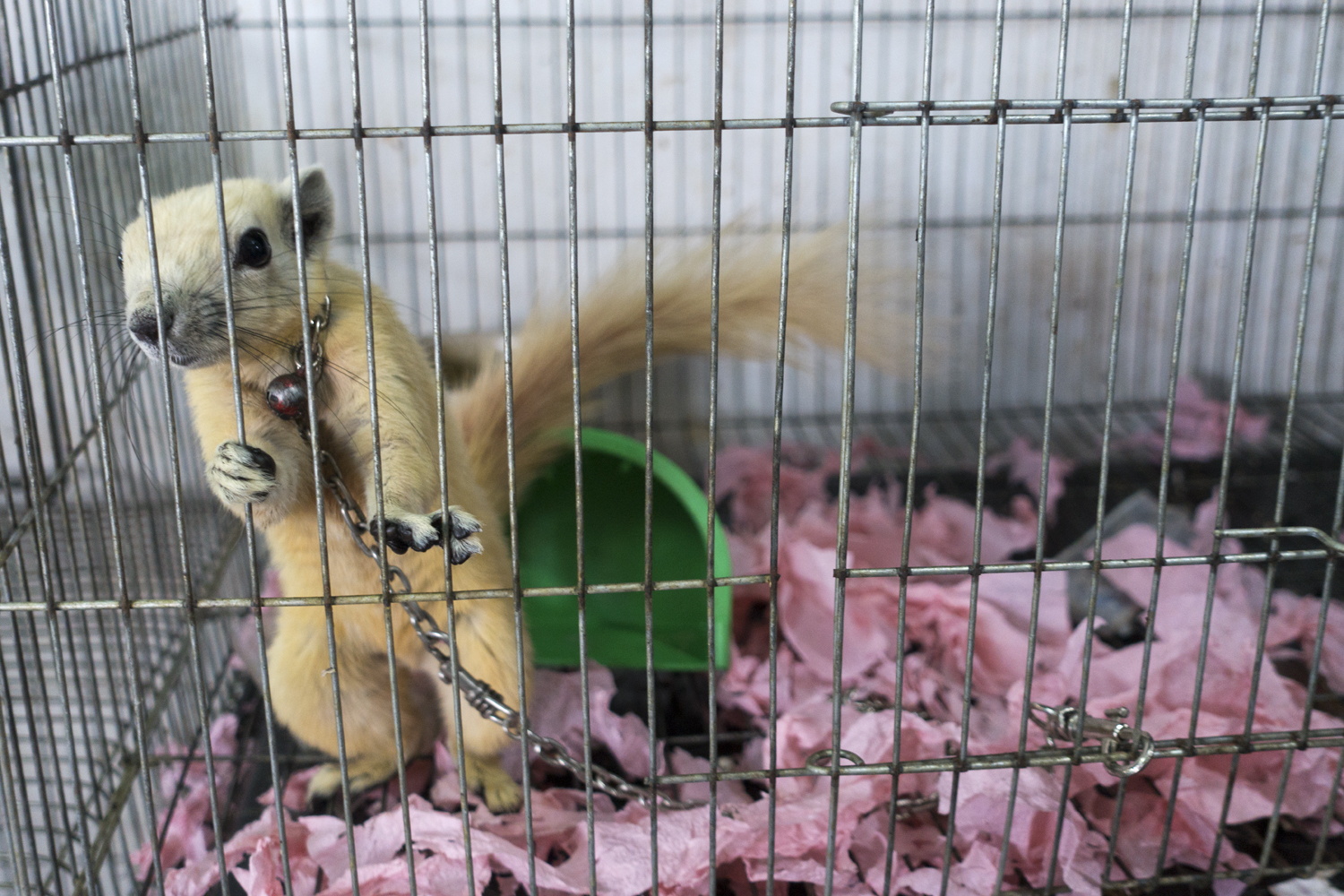- A squirrel chained in a cage in Chatuchak Market. Squirrels are a very popular pet in Thailand.