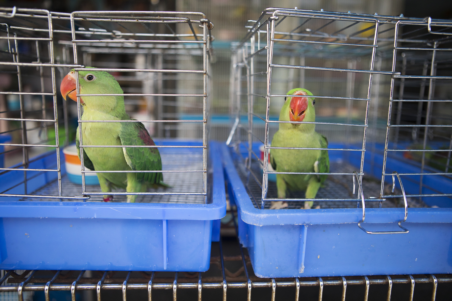 - Two Alexandrine Parakeets (Psittacula eupatria) seen here at Chatuchak market. This species is listed as 'near threatened' on the IUCN red list.The reason it has become threatened is that it is widely captured and traded as a cage-bird. Despite the near-disappearance of the species from Thailand, nestlings still appear in illegal trade in Bangkok bird markets, although they possibly originate from Cambodia.