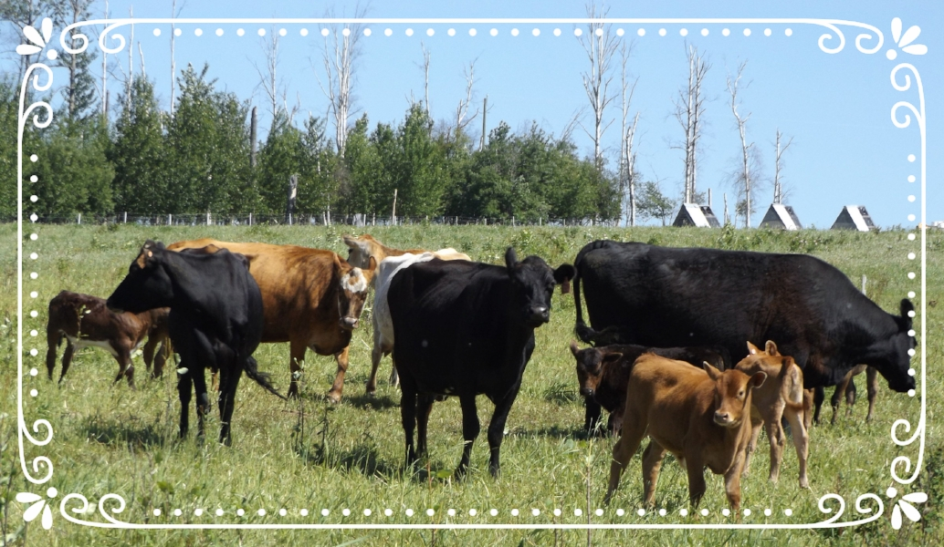 Grass-fed cows and calves on pasture