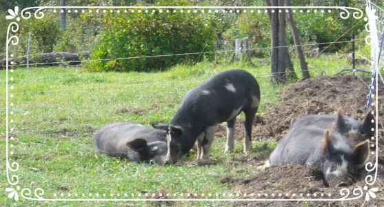 Heritage Berkshire pigs resting after being moved to fresh pasture. Notice that they still want to be on the dirt?