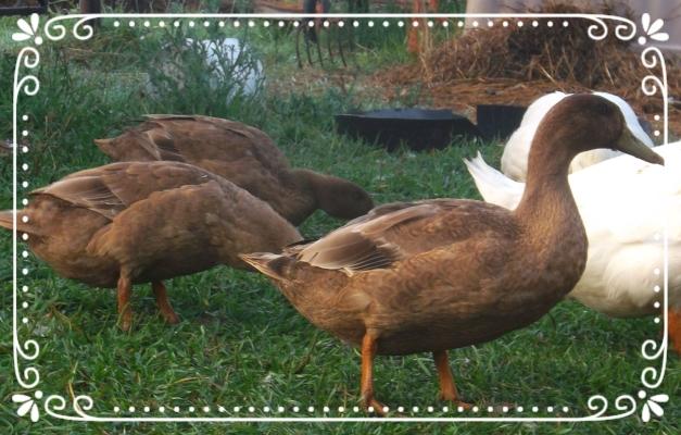 The brown ducks are Khaki Campbell ducks